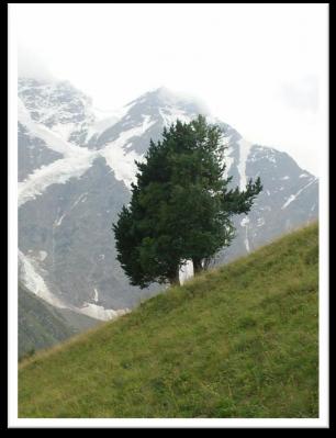 Дерево на Кавказе