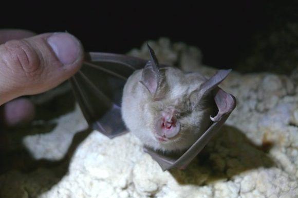 Летучая мышка